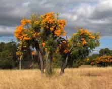 Nuytsia-Floribunda-1
