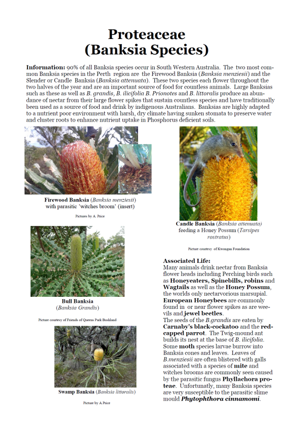 Proteaceae (Banksia Species)